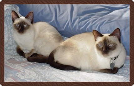 B D Siamese Cattery
